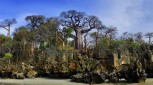 Baobab of madagascar